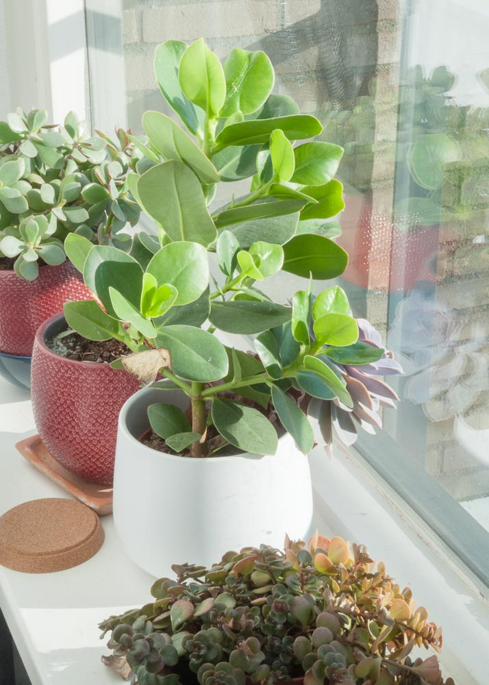 Picture description: a series of plants on a window sill.